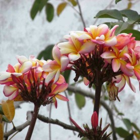 56 - As Flores do Jardim da Nossa Casa